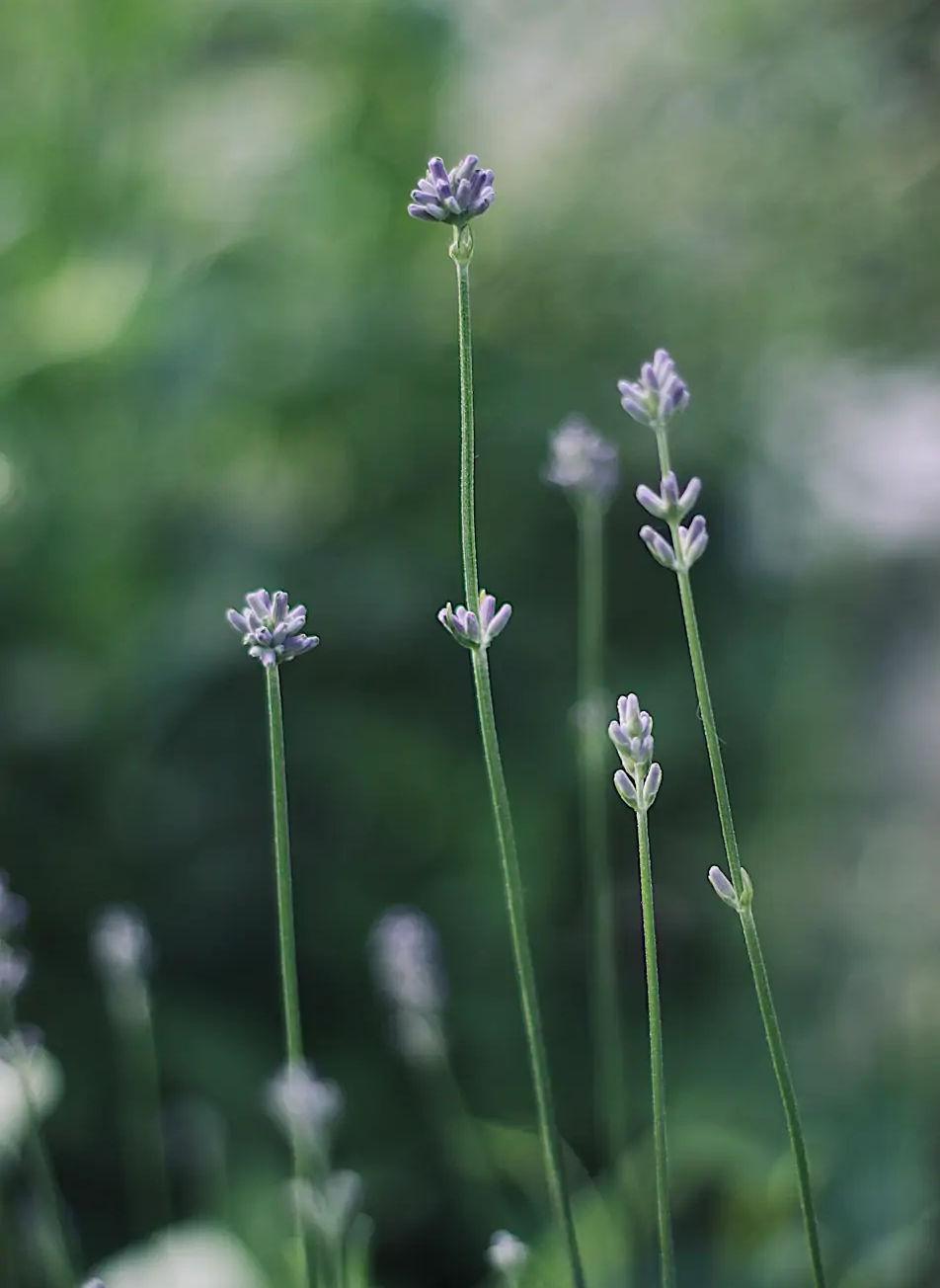 using lavender plant to make DIY lavender water